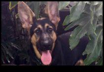 adopt german shepherd - zelda