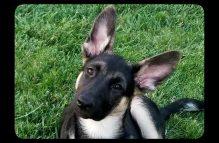 adopt german shepherd - lilly