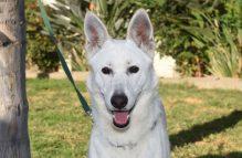 adopt german shepherd- lindy