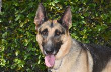 adopt german shepherd - mighty thor