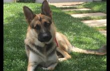 adopt a german shepherd - nikki
