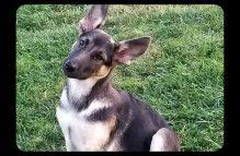 adopt german shepherd - poppy