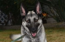 adopt german shepherd - Tiffany