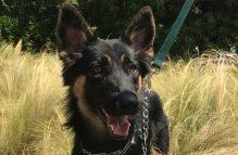 adopt german shepherd- tina