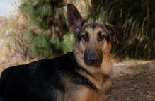 german shepherd danni girl