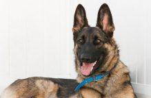 adopt german shepherd-Sultan