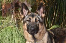 adopt german shepherd alli