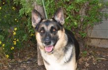 adopt german shepherd