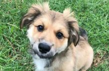 adopt german shepherd