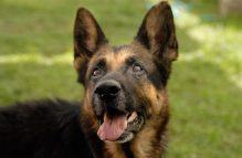 adopt german shepherd-girly girl