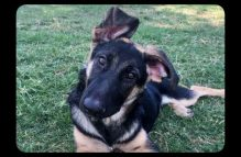 adopt german shepherd - Natasha