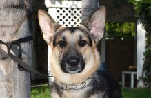 adopt german shepherd -nelson