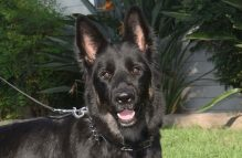 adopt german shepherd - reysa