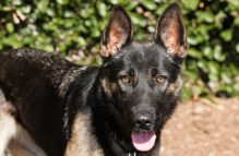 adopt german shepherd - fallon