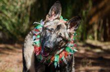 adopt german shepherd -gigi