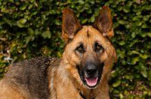 adopt german shepherd- hanz