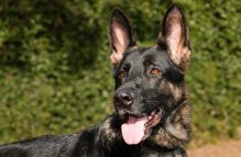 adopt german shepherd luna