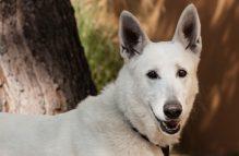 adopt german shepherd - remi