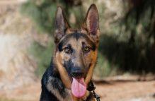 adopt german shepherd -wendy