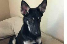 adopt german shepherd - aster