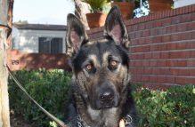adopt german shepherd - kobe