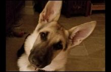 adopt german shepherd - petunia