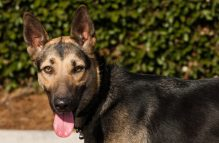 adopt german shepherd katarina