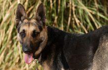 adopt german shepherd - marina