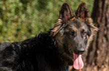 adopt german shepherd robbie