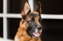 adopt german shepherd - titan