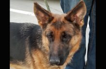 adopt german shepherd - blitzen