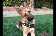 adopt a gsd - griffin
