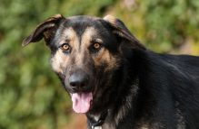adopt german shepherd- lark
