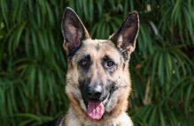 adopt a german shepherd- bavaria