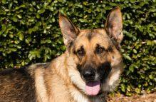 adopt german shepherd- Big Daddy