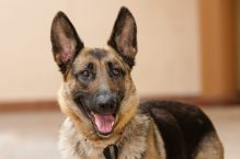 adopt german shepherd- Cookie