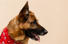 adopt german shepherd- dolyy