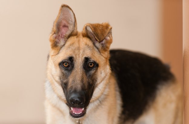 adopt german shepherd- Felicity