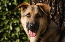 adopt a german shepherd - floppy