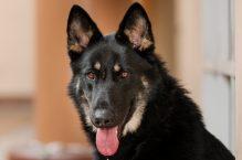adopt german shepherd - harry