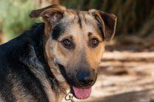 adopt a german shepherd- Huck