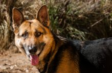 adopt a german shepherd- Jeremy