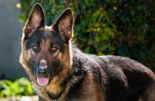 adopt german shepherd -marmalade