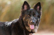 adopt german shepherd- Windy