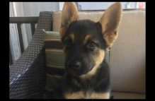 adopt a german shepherd - grace