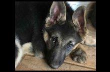 adopt a gsd puppy = link