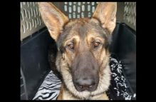 adopt german shepherd puppy - river