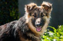 adopt german shepherd -bella donna