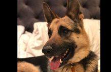 adopt a german shepherd - chevy