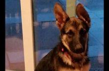 adopt a german shepherd - patton